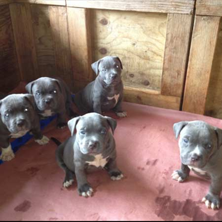 Gallery - Blue Nose Pitbull Puppies For Sale | Hawaii King